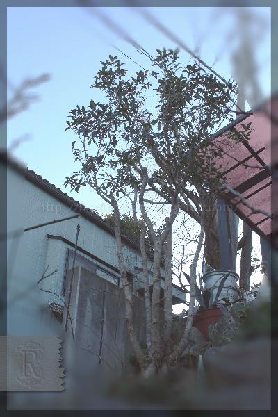 ロックガーデン 金木犀 剪定 20150118