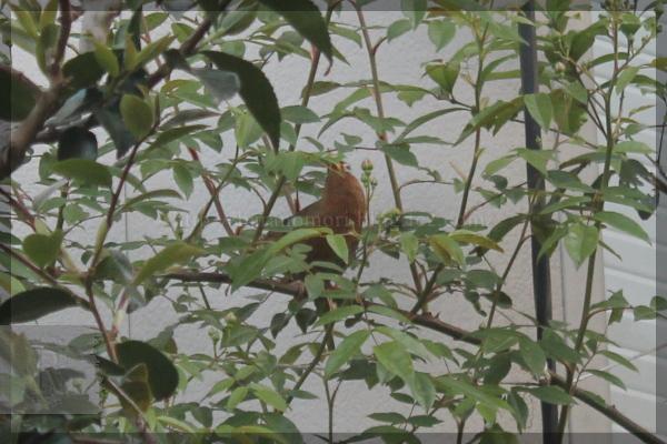 ガビチョウ 20150505 野鳥