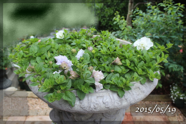 ドレスアップ 八重咲き ペチュニア 20150519