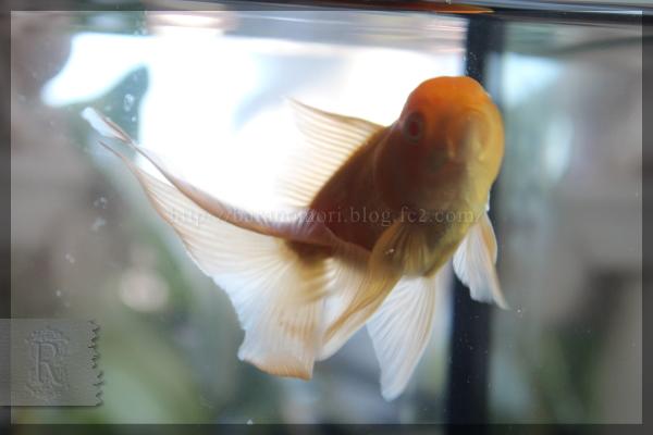 金魚 オランダ獅子頭 オランダシシガシラ アルビノ 20150118