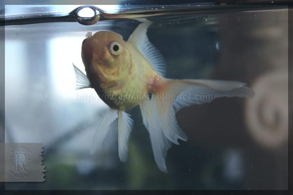 金魚 オランダ獅子頭 オランダシシガシラ 白 白オランダ  20150118