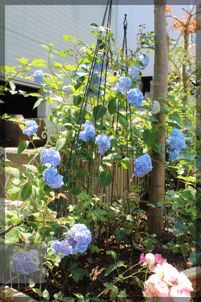 アジサイ あじさい 紫陽花 20150607