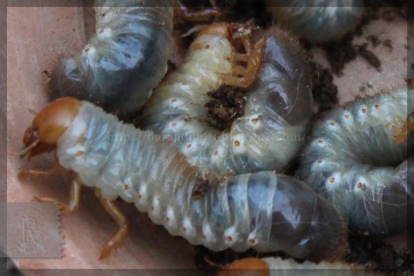 コガネムシ 幼虫 20150412