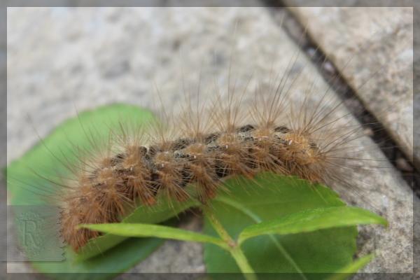 毛虫 幼虫 シロヒトリ  20150427