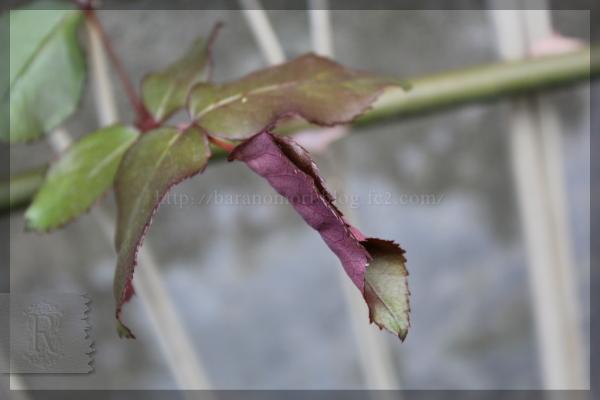 バラの葉 二つ折り 蜘蛛 20150510