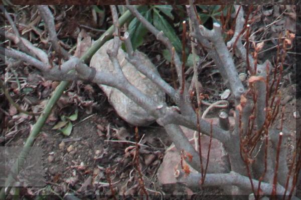 庭バラ ロックガーデン 20150112 ホワイトメイディランド