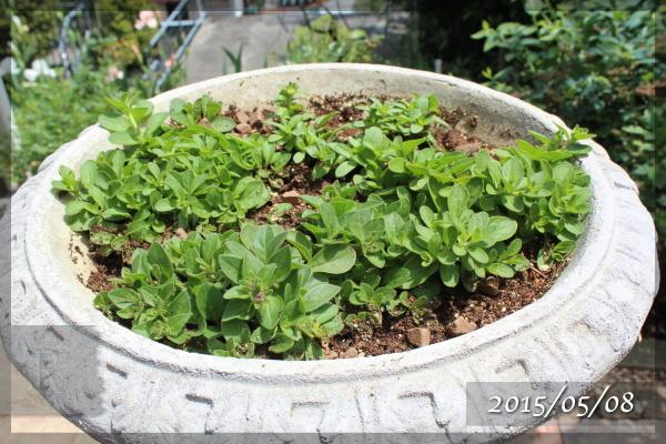 ドレスアップ 20150508 ペチュニア 八重咲き