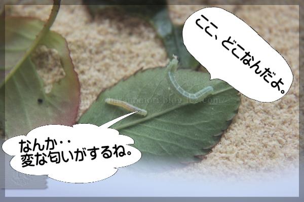 実験 米ぬか 幼虫駆除 20150418