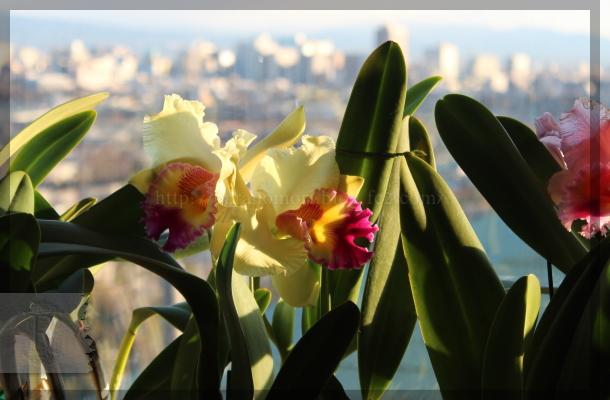 洋蘭 花の女王 カトレア 20150107