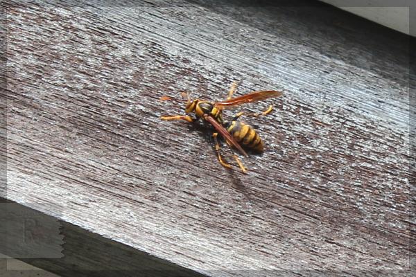 アシナガバチ 20150421