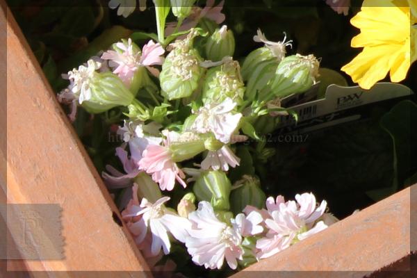 寄せ植え ナスタチウム コリウス 20150522