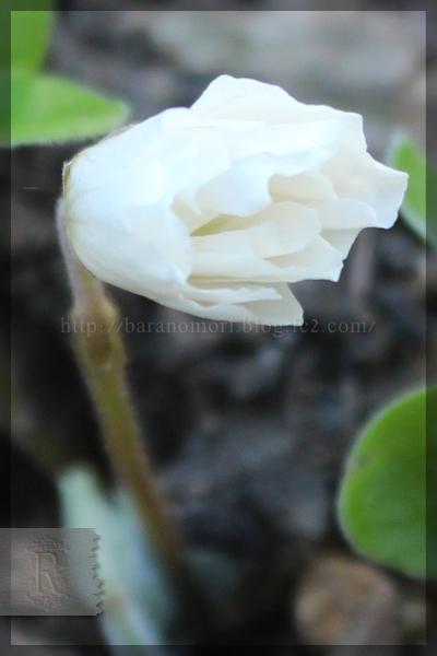 八重咲きミヤマカタバミ 20150328