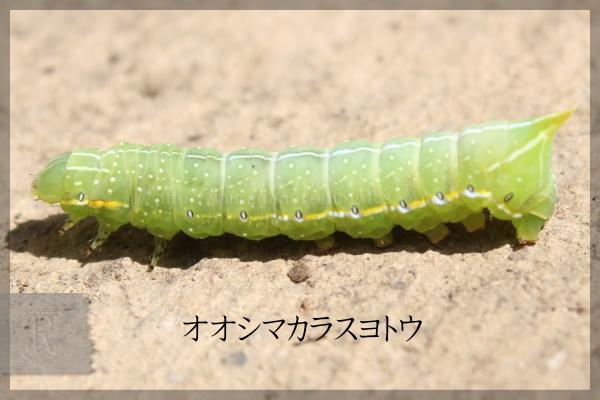 オオシマカラスヨトウ 20150504