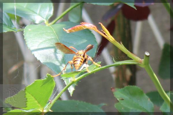 キアシナガバチ 20150617