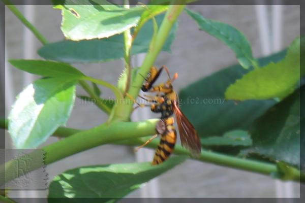 キアシナガバチ チュウレンジハバチ 20150617