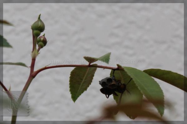 アシナガバチ 20150505