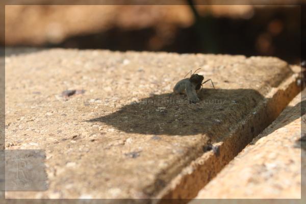 アリ 益虫 20150515