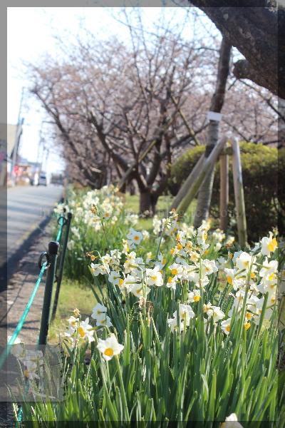 伊豆旅行 20150211_13 河津桜まつり