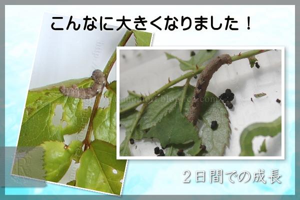 米ぬか 幼虫駆除 実験 20150420