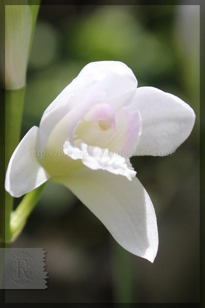 紫蘭 シロバナシラン 斑入り 20150508 裏