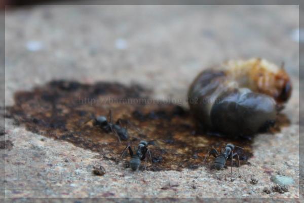 害虫 幼虫 20150511