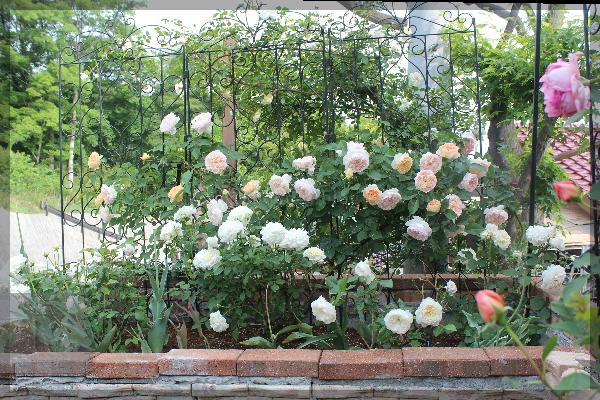 砕石駐車場花壇 20150518 エブリン グラスアンアーヘン ボレロ