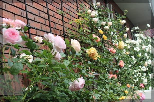 パパ花壇 東 20150522