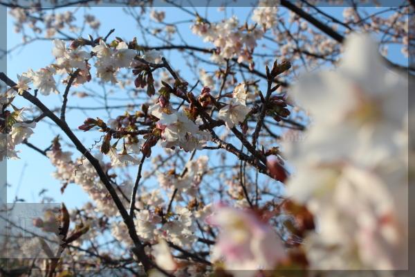伊豆旅行 20150211_13 白浜 桜の里 展望台