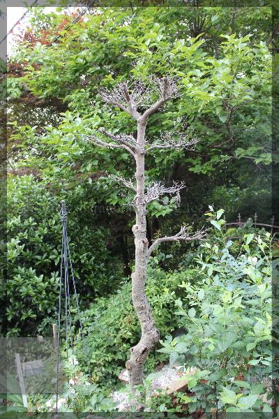 枯れ木 20150523