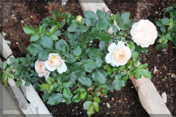 ガーデンオブローゼズ 20150523