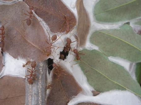 Weaver Antsの巣2