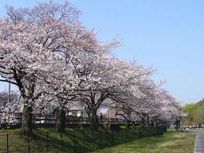 0414桜1