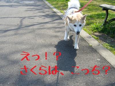 0414桜4