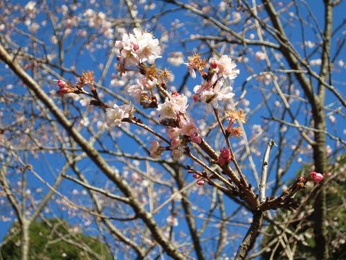 IMG_4403寒桜