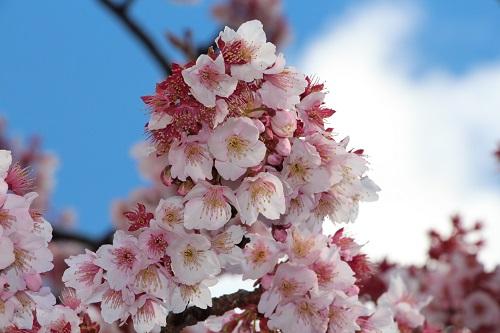 IMG_1070熱海桜