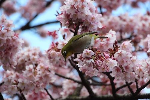 IMG_1103桜とメジロ