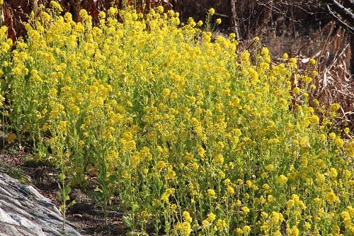 IMG_1311菜の花満開