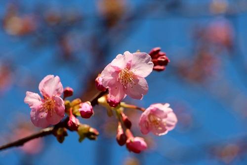IMG_1332_NEW河津桜1