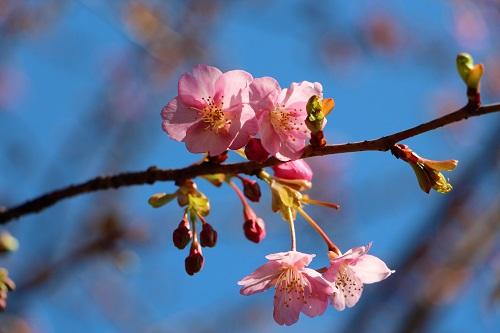 IMG_1333_NEW河津桜2