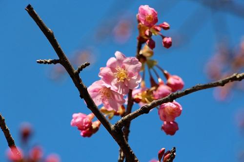 IMG_1336_NEW河津桜3