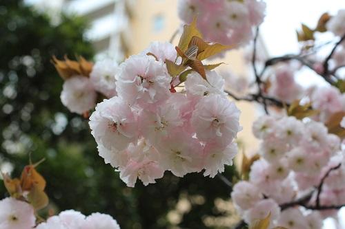 IMG_1853八重桜-s