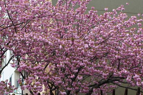 八重桜-s