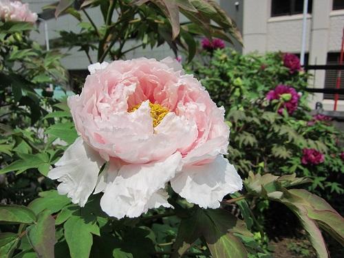 ピンク・牡丹-s