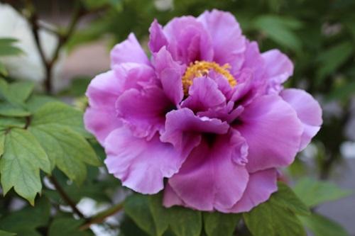 IMG_1954紫牡丹