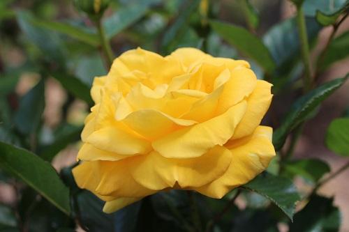 IMG_2159薔薇黄色
