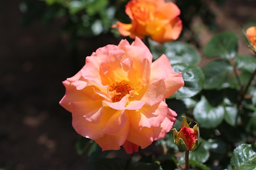 IMG_2166薔薇