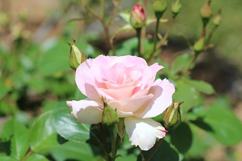 IMG_2171薔薇ピンク