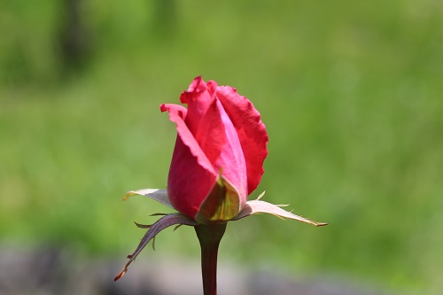 IMG_2196薔薇 つぼみ