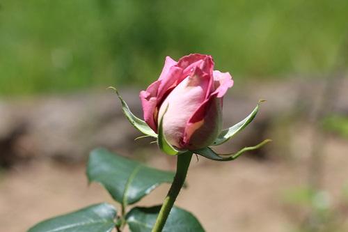 IMG_2204薔薇 蕾