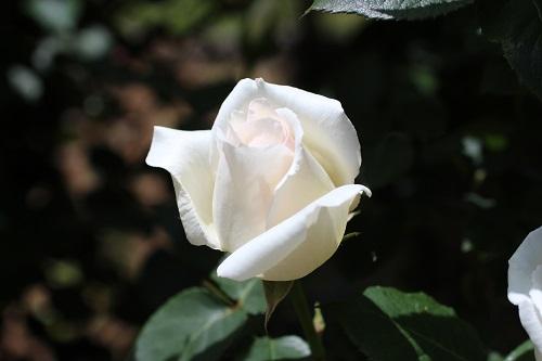IMG_2173薔薇白